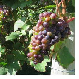 distinctly-kelowna-tours-veraison