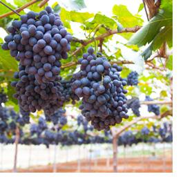 distinctly kelowna wine tours grapes